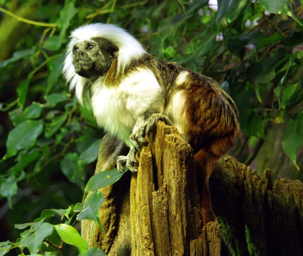 wallpapers of cotton top marmoset monkeys poster