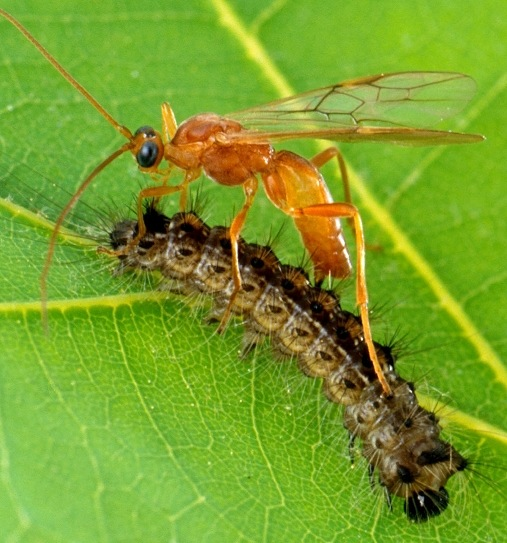 Parasitic wasp