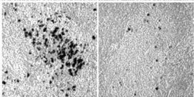 MHV68 latency +/- mK3 (Stevenson et al, 2002)