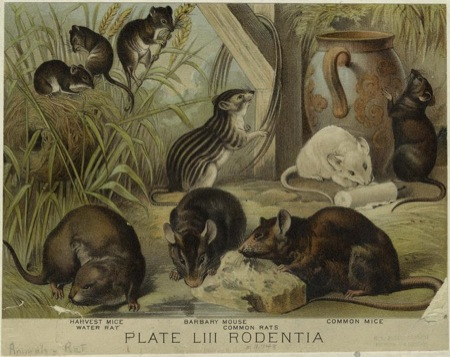 Rodentia:Johnson's household book of nature, containing full &amp; interesting descriptions of the animal kingdom. (New York : Johnson, c1880) Craig, Hugh, Editor.