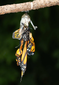 Parasitized monarch butterfly