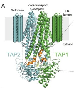TAP structure - Tampe