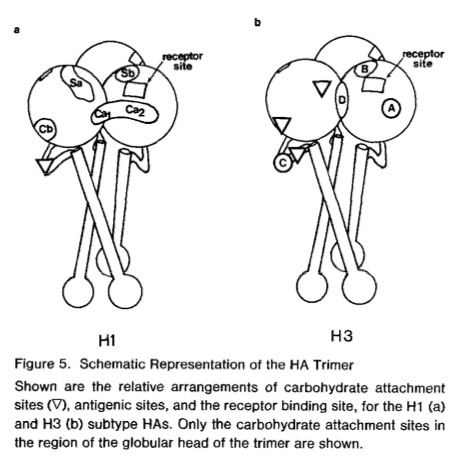 H1 antibody binding sites - Gerhard 1982
