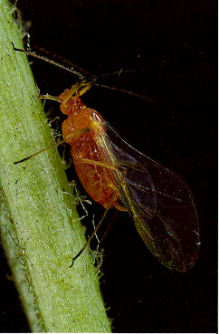 Rosy Apple Aphid (Whalon lab)