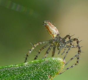 Ballooning baby lynx spider