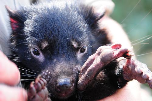Orphan Tasmanian Devil
