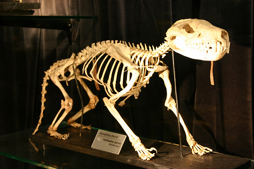 Tasmanian Devil skeleton