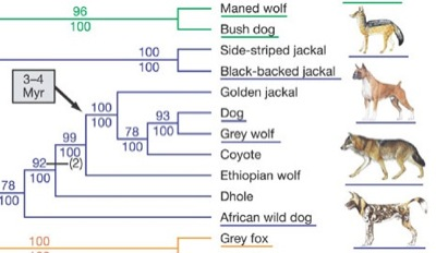Dog and wolf phylogeny