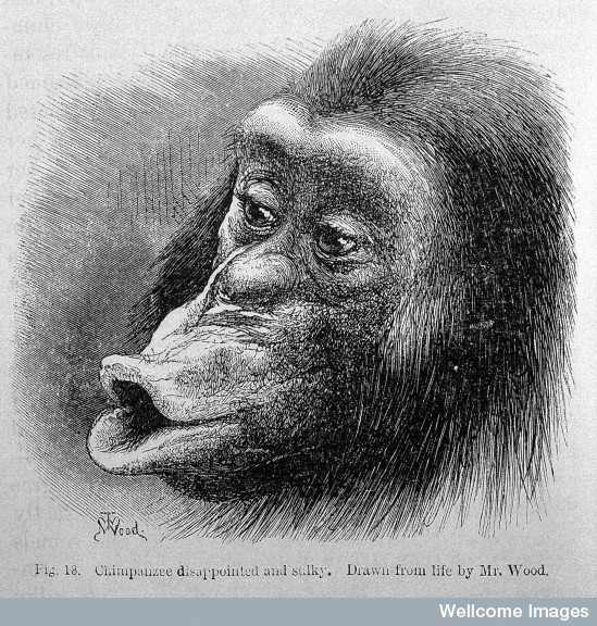 Chimpanzee (from Darwin)