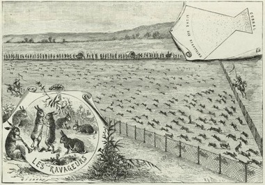 Extermination of rabbits in California, 1894