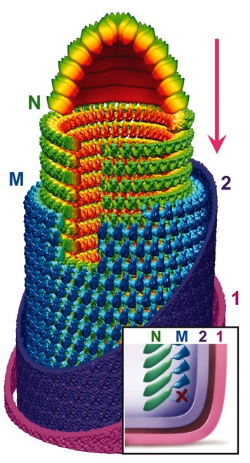 Structure of VSV by cryo-electron microscopy