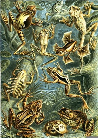 Frogs (by Haeckel)