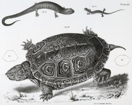 Dekay - Salamanders & turtle
