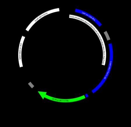 pTracerCMV2 - XPlasMap